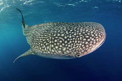 Whale Shark, Cenderawasih Bay, West Poster by Pete Oxford