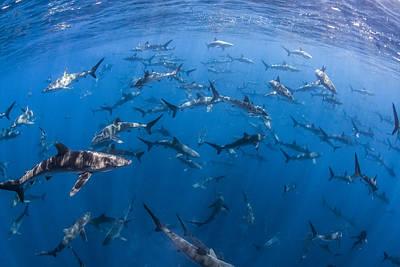 151 Silky Sharks Poster