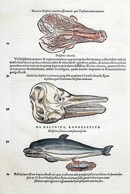 1560 Gesner Dolphin As Sea Mammals Poster by Paul D Stewart