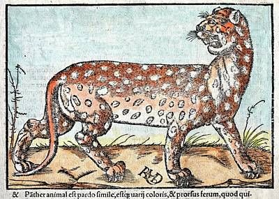 1560 Leopard Munster Cosmographia Poster by Paul D Stewart