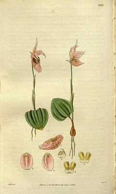 Botanical Print By Sir William Jackson Hooker Poster by Quint Lox