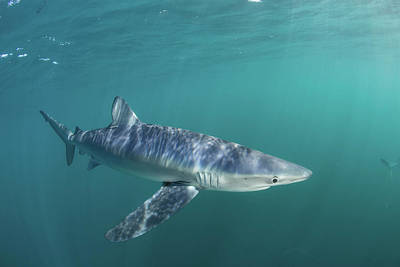 A Sleek Blue Shark Swimming Poster by Ethan Daniels