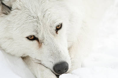 Arctic Wolf  Poster by Wolves Only