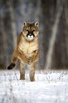 Cougar Poster by Linda Freshwaters Arndt