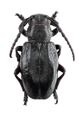 Longhorn Beetle Poster by F. Martinez Clavel