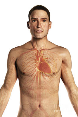 The Cardiovascular System Poster by Science Picture Co
