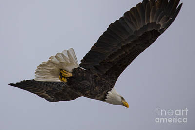 Bald Eagle In Burlington Iowa Poster by Twenty Two North Photography