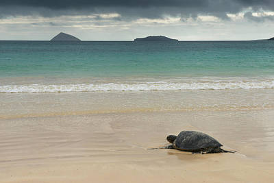 Galapagos Green Sea Turtle (chelonia Poster by Pete Oxford