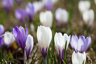Spring Crocus (crocus Vernus Poster by Martin Zwick