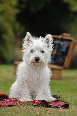 West Highland White Terrier Poster by John Daniels
