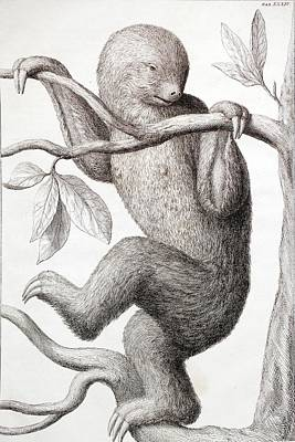 1735 Two Toed Sloth From Albertus Seba Poster by Paul D Stewart