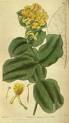 Botanical Print By Sir William Jackson Hooker Poster