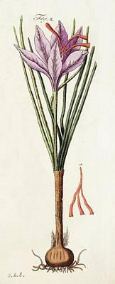 1795 Saffron Crocus Sativus Illustration Poster by Paul D Stewart