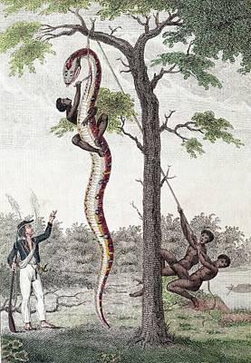 1796 Stedman Skins Giant Anaconda Snake Poster by Paul D Stewart