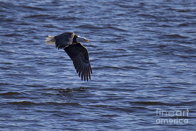 Bald Eagle In Le Claire Iowa Poster by Twenty Two North Photography