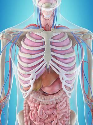 Human Internal Organs Poster by Sciepro