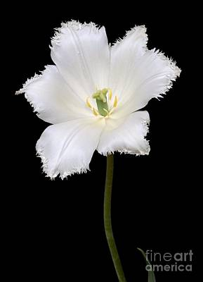 Tulip Tulipa Gesneriana Poster by Dr. Nick Kurzenko