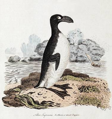 1819 Extinct Great Auk Illustration Poster by Paul D Stewart