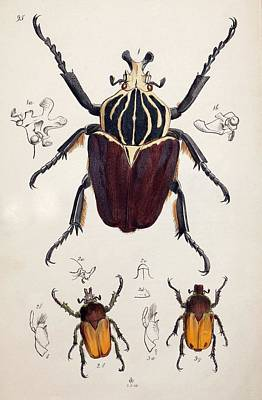 1845 Westwood Goliath Beetle Painting Poster by Paul D Stewart