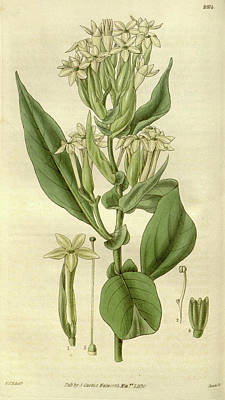 Botanical Print By Sir William Jackson Hooker Poster