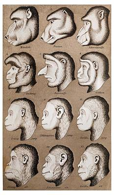 1870 Haeckel Ape Monkey Illustration Poster