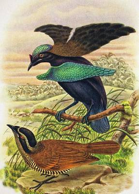 1898 Superb Bird Paradise Wrong Display Poster
