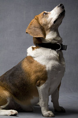 Beagle Poster by Gary Marx