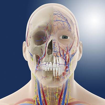 Head And Neck Anatomy, Artwork Poster by Science Photo Library