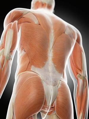 Human Back Muscles Poster by Sciepro