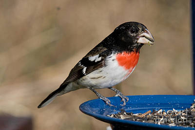 Male Rose-breasted Grosbeak Poster