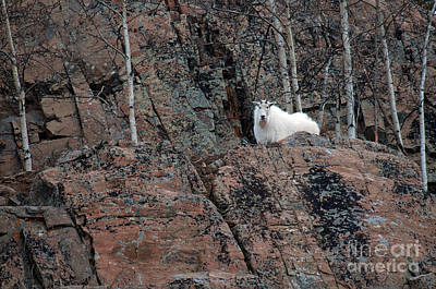 Mountain Goat Poster by Mark Newman