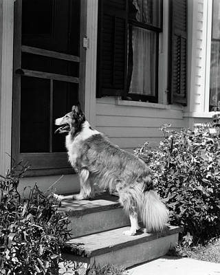 1930s Rough Scotch Collie Dog Standing Poster