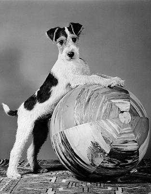 1940s Terrier In Playful Pose Front Poster