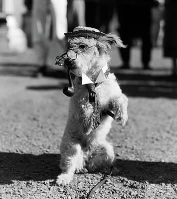 1940s White Terrier Dog On Hind Legs Poster