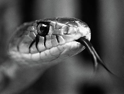 1960s Close-up Head Of Snake Sticking Poster