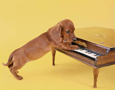 1960s Dachshund Puppy Playing Toy Piano Poster