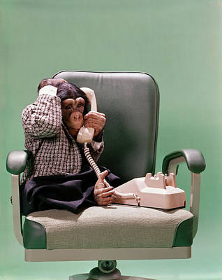 1970s Chimpanzee Sitting In Business Poster