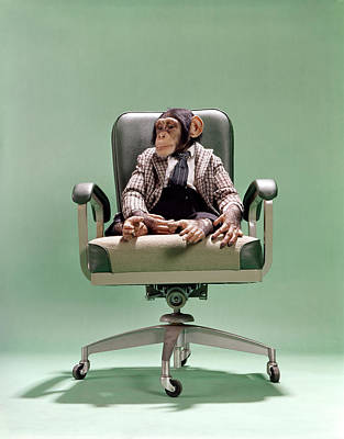 1970s Chimpanzee Sitting On Office Chair Poster