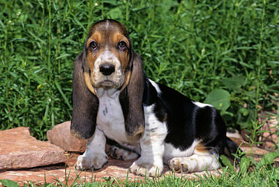 1990s Basset Hound Puppy Dog Sitting Poster