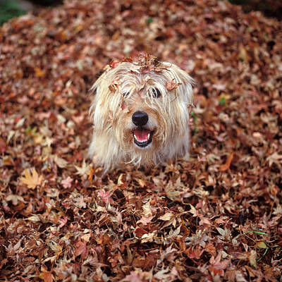 1990s Dog Covered In Leaves Poster