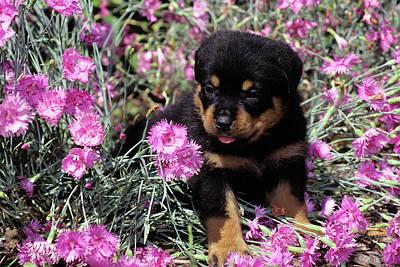 1990s Rottweiler Puppy Dog Sitting Poster
