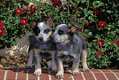 1990s Two Australian Cattle Dog Puppies Poster