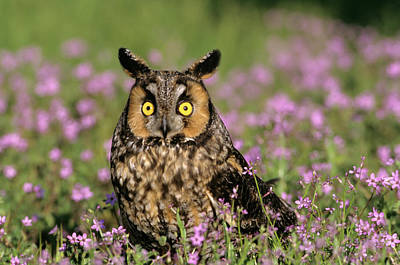 1990s Wide Eyed Long Eared Owl Asio Poster