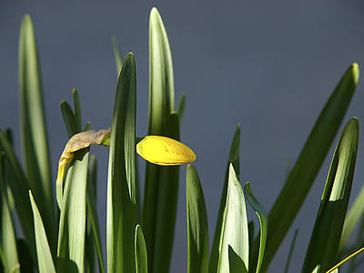 Poster featuring the photograph 1st Daff by Joe Schofield