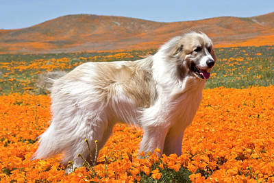 A Great Pyrenees Standing In A Field Poster by Zandria Muench Beraldo