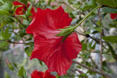 Abstract Hibiscus Poster