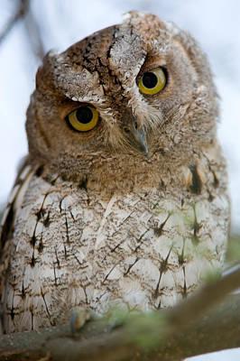 African Scops Owl Otus Senegalensis Poster