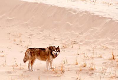 Alaskan Malamute At Mojave National Poster by Mark Newman