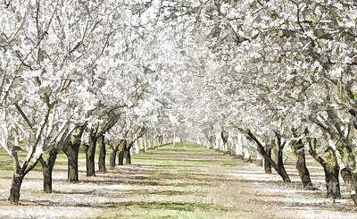 Almond Orchard Poster by Kathleen Gauthier