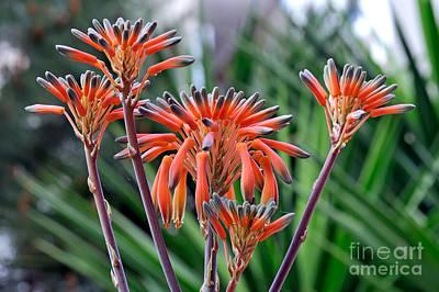 Aloe Vera Flowers Poster by George Atsametakis